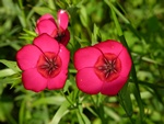 Linum rubrum (Cultiv)